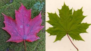 Canadá pone en sus billetes un símbolo equivocado