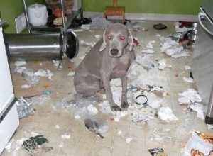 Las 10 cosas favoritas que a los perros les gusta destruir (FOTOS)