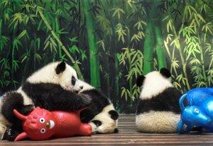 Cuatro minutos con los 30 datos más curiosos sobre pandas que debes conocer (Video)