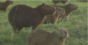 Capibaras se adueñaron de un campo de golf en Bolivia durante la cuarentena (Video)
