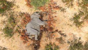 Descubren la causa de la misteriosa muerte de cientos de elefantes en África