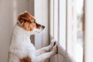 Confirmaron el primer caso positivo por Covid-19 en un perro de Texas