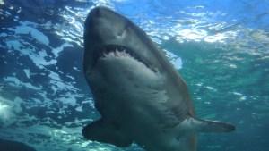 Cambio climático está detrás del drástico aumento de ataques de tiburones en Australia