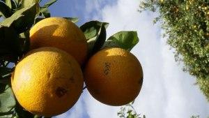 Advierten que bacteria afecta calidad de frutos cítricos nacionales