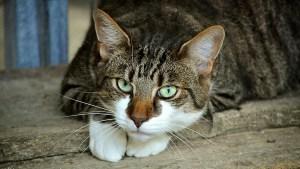 """VIRAL: Ilusión óptica con un gato """"de cabeza flotante"""" desconcierta en redes sociales (FOTO)"""