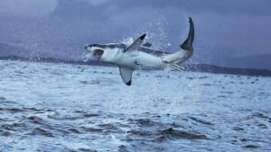 Dron grabó el momento en que un tiburón blanco atrapó a una raya en Australia (Video)