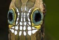 FOTOS: Extraña oruga se defiende de depredadores con una calavera en su espalda