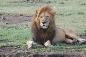 Muere Scarface, el león más famoso de Kenia (Fotos)