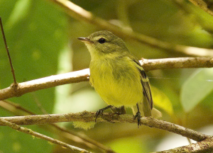 Redescubrieron al brillante atrapamoscas de Paria, el ave más escurridiza de Venezuela