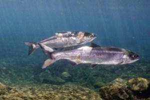 Salmones en la costa de EEUU se estaban hirviendo vivos durante la ola de calor (VIDEO)