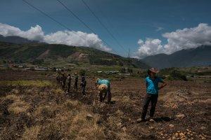 Escasez de semillas pone en jaque el cultivo de papas en Venezuela