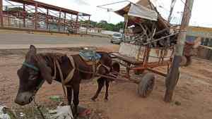 ¡INSÓLITO! A burro y en carretas se transportan zulianos por falta de combustible